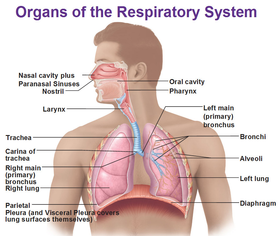 Respiratory System Body Systems
