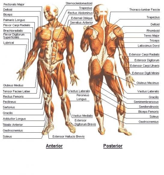 muscular system photos – citybeauty, Muscles