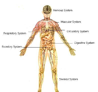 systems of the human body essay Download the the human body facts and worksheets editing resources is available exclusively for kidskonnect premium systems in the human body circulatory.
