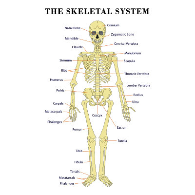 Skeletal System - Body systems