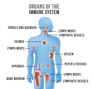 immune system - body systems, Muscles
